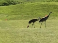 Sandhill Crane Colts Following Mom and Pop- Brody Summerfield