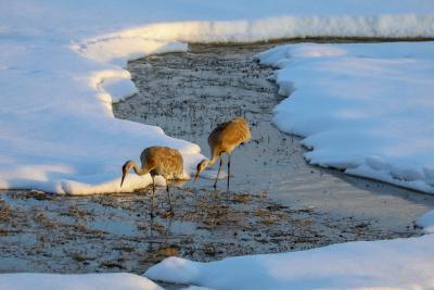 Cranes-in-winter