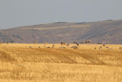 Cranes feeding in the field