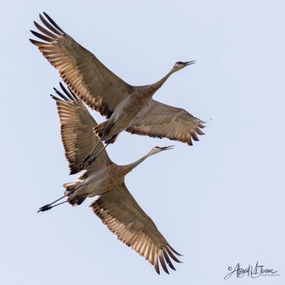 Cranes by Abby Jensen