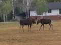 Bull Moose and Calf