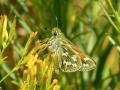 Butterfly-Moth3