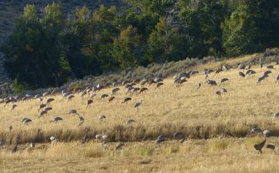 2018-Crops-for-Cranes-field-1435-1