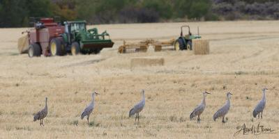 Cranes-in-field-with-tractor