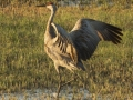 Adult crane