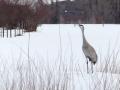 Calling Crane