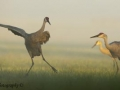 Crane Dancer