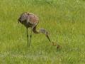 Crane-and-chicks