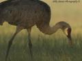 Crane at Dawn