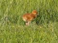 Crane-chick