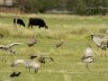 Cranes, cows & crows