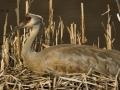 Nesting Crane Closeup