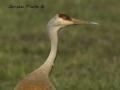 Nesting Crane's Mate